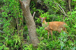 Reeve's muntjac (Muntiacus reevesi) adult male, standing in the woods, Tangjiahe National Nature Reserve, Sichuan Province, China - Staffan Widstrand / Wild Wonders of China