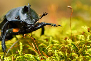 Rhinoceros beetle, (Oryctes sp) on a moss covered tree trunk , Tangjiahe National Nature Reserve, Sichuan Province, China  -  Staffan Widstrand / Wild Wonders of China