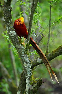 Golden pheasant (Chrysolophus pictus) male perched in tree,Tangjiahe National Nature Reserve, Qingchuan County, Sichuan province, China. Endemic species for China - Staffan Widstrand / Wild Wonders of China