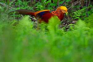Golden pheasant (Chrysolophus pictus) male walking through the forest , Tangjiahe National Nature Reserve, Qingchuan County, Sichuan province, China. Endemic species for China - Staffan Widstrand / Wild Wonders of China