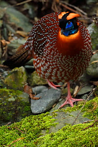 Temminck's tragopan (Tragopan temminckii) male bird walking throught the forest of Tangjiahe National Nature Reserve, Qingchuan County, Sichuan province, China - Staffan Widstrand / Wild Wonders of China