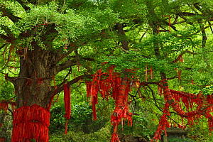 Ginkgo tree or Maidenhair tree (Ginkgo biloba) with red ribbons tied to it, Tangjiahe National Nature Reserve, Qingchuan County, Sichuan province, China - Staffan Widstrand / Wild Wonders of China