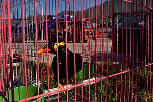 Hill myna (Gracula religiosa), caught in the wild, for sale at a truckstop, Shaanxi, China. - Staffan Widstrand / Wild Wonders of China