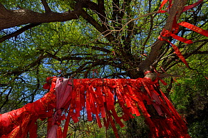 A giant Ginkgo or Maidenhair tree (Ginkgo biloba) with red ribbons with wishes written on them Tangjiahe National Nature Reserve,  Qingchuan County, Sichuan province, China. This holy Tao site and tre... - Staffan Widstrand / Wild Wonders of China
