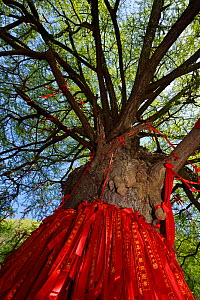 A giant Ginkgo or Maidenhair tree (Ginkgo biloba) with red ribbons with wishes written on them, Tangjiahe National Nature Reserve,  Qingchuan County, Sichuan province, China. This holy Tao site and tr... - Staffan Widstrand / Wild Wonders of China