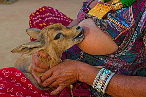 The Bishnoi woman breastfeeding an orphaned Indian gazelle / Chinkara fawn (Gazella bennettii) Bishnoi are a religious community which venerates nature, based in northwestern India. The fawn will be r... - Axel  Gomille