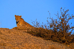 Leopard (Panthera pardus fusca),watching from rock, Rajasthan, India  -  Axel  Gomille