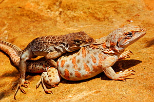 Long-nosed leopard lizard (Gambelia wislizenii) pair mating, captive. - Daniel  Heuclin
