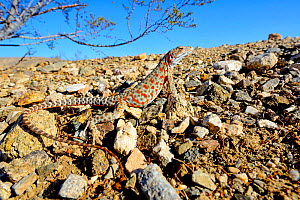 Long-nosed leopard lizard (Gambelia wislizenii) gravid female, Mohave desert, California, USA. June. - Daniel  Heuclin