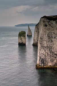 Sea Stacks of Cretaceous age Chalk near Old Harry Rocks, Studland, Dorset, March. These stacks are locally called The Pinnacles.  -  Graham Eaton