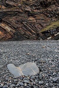 Quartz infilled tension cracks in a boulder on the beach. Millock Haven, Cornwall, UK, March - Graham Eaton
