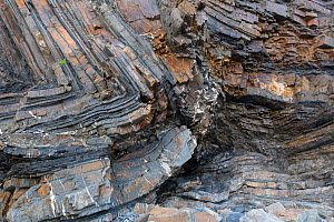 Recumbent folds in Carboniferous age sandstones and Shale (Bude Formation), Bude, Cornwall, UK, May. The rocks were deformed during the Hercynian Orogeny or mountain building event. - Graham Eaton