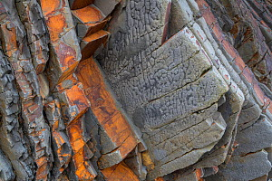 Load casts on the underside of a sandstone bed of Carboniferous age, Culm Measures (Bude Formation), Bude, Cornwall, UK, May. - Graham Eaton