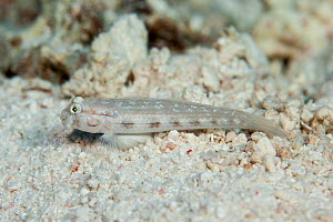 Shoulderspot goby (Gnatholepis cauerensis ) at South Minerva Reef / Teleki Tonga, a disputed territory in the South Pacific between Tonga and Fiji. - Richard Robinson