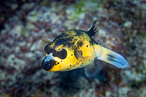 Blackspotted Puffer (Arothon nigropunctatus) at South Minerva Reef / Teleki Tonga, a disputed territory in the South Pacific between Tonga and Fiji. - Richard Robinson