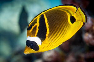 Chaetodon lunula Raccoon Butterflyfish (Chaetodon lunula)  at South Minerva Reef / Teleki Tonga, a disputed territory in the South Pacific between Tonga and Fiji. - Richard Robinson