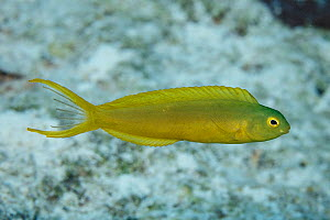 Canary fangblenny (Meiacanthus oualanensis) at North Minerva Reef / Teleki Tokelau a disputed territory in the South Pacific between Tonga and Fiji. - Richard Robinson