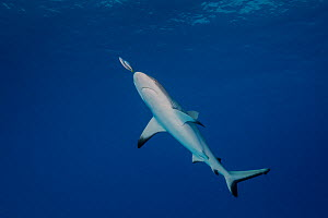 Thicklipped jack (Pseudocaranx dentex ) swimming in front of nose of Grey Reef Shark (Carcharhinus amblyrhynchos)   at North Minerva Reef / Teleki Tokelau a disputed territory in the South Pacific bet...  -  Richard Robinson
