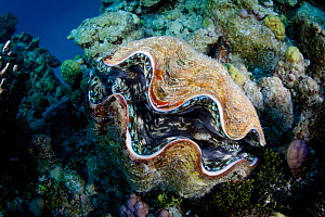 Giant Clam (Tridacna sp.) at North Minerva Reef / Teleki Tokelau a disputed territory in the South Pacific between Tonga and Fiji.  -  Richard Robinson
