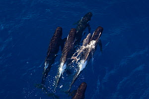 Aerial view of Long-finned pilot whale (Globicephala melas) pushing newborn calf to surface to breath, New Zealand. - Richard Robinson