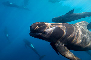 Long-finned pilot whales (Globicephala melas) offshore, Northern New Zealand. - Richard Robinson