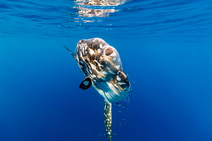 Bump-head sunfish (Mola alexandrini) with Pilotfish (Naucrates ductor) offshore, Northern New Zealand. - Richard Robinson