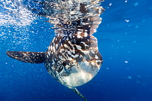 Bump-head sunfish (Mola alexandrini) offshore, Northern New Zealand. - Richard Robinson