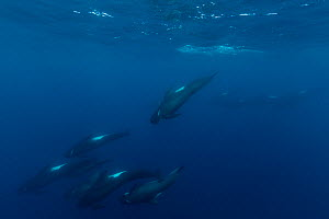 Long-finned pilot whales (Globicephala melas) offshore, Northern New Zealand. Editorial use only.  -  Richard Robinson