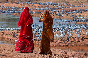 Demoiselle cranes (Grus / Anthropoides virgo) feeding at wintering site in the Thar desert, with women dressed in sarees looking at them, Rajasthan, India - Axel  Gomille