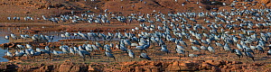 Demoiselle cranes (Grus /  Anthropoides virgo), large flock, at their wintering site, Thar desert, Rajasthan, India. Digitally stitched panorama. - Axel  Gomille