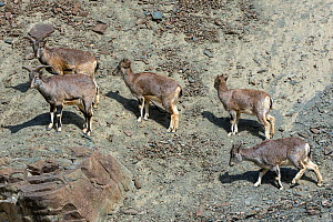 Greater blue sheep (Pseudois nayaur), herd on mountain slope, important prey for snow leopards (Panthera uncia), Himalaya, Hemis National Park, Ladakh, India  -  Axel  Gomille
