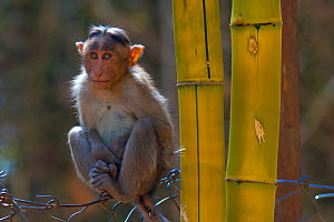 Bonnet macaque (Macaca radiata), young animal on fence, Karnataka, India  -  Axel  Gomille