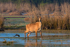 Nilgai (Boselaphus tragocamelus), female in water, Rajasthan, India  -  Axel  Gomille