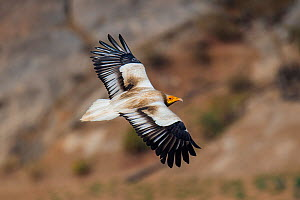 Egyptian vulture�(Neophron percnopterus), in flight, Rajasthan, India  -  Axel  Gomille