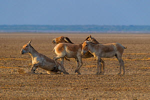 Asiatic wild ass (Equus hemionus khur), group of young males, Little Rann of Kutch, Gujarat, India - Axel  Gomille