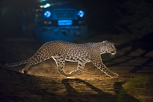 Leopard (Panthera pardus fusca), crossing road in front of vehicle at night,  Rajasthan, India  -  Axel  Gomille