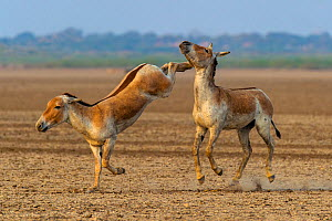 Asiatic wild ass (Equus hemionus khur), young males fighting, with one kicking opponent, Little Rann of Kutch, Gujarat, India  -  Axel  Gomille