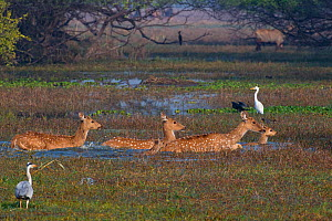 Spotted deer (Axis axis), adults and fawns, crossing swamp, surrounded by waterbirds, Keoladeo National park, Bharatpur, Rajasthan, India. - Axel  Gomille