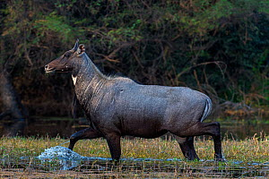 Nilgai (Boselaphus tragocamelus), male walking through water, Keoladeo Ghana National Park, Bharatpur, Rajasthan, India.  -  Axel  Gomille