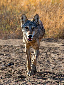 Indian wolf�(Canis lupus pallipes) walking, Gujarat, India  -  Axel  Gomille