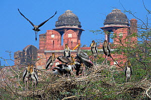 Painted Stork (Mycteria leucocephala), colony, with historic building behind, Delhi, India  -  Axel  Gomille