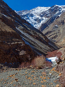 Greater blue sheep (Pseudois nayaur), herd in habitat, high mountains, Himalaya, important prey for snow leopards (Panthera uncia), Hemis National Park, Ladakh, India  -  Axel  Gomille