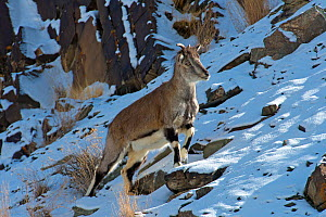 Greater blue sheep (Pseudois nayaur),  important prey species for snow leopards (Panthera uncia), Himalaya, Hemis National Park, Ladakh, India  -  Axel  Gomille