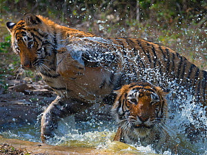 Tiger (Panthera tigris) mother and large cub playing in water, Ranthambhore National Park, Rajasthan, India.  -  Axel  Gomille