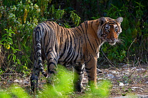Tiger (Panthera tigris), in forest, wet after coming out of water, Ranthambhore National Park, Rajasthan, India  -  Axel  Gomille