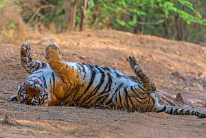 Tiger (Panthera tigris), rolling on back and relaxing after feeding, Ranthambhore National Park, Rajasthan, India.  -  Axel  Gomille
