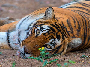 Tiger (Panthera tigris), portrait, with flower and flies, Ranthambhore National Park, Rajasthan, India - Axel  Gomille