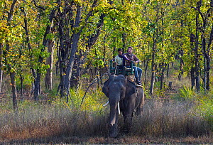 Photographer Axel Gomille, on the back of domesticated Asian Elephant (Elephas maximus), with mahout, tracking and photographing tigers (Panthera tigris), Bandhavgarh National Park, Madhya Pradesh, In...  -  Axel  Gomille