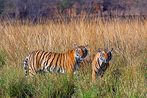 Tiger (Panthera tigris), female with large cubs, Ranthambhore National Park, Rajasthan, India,  -  Axel  Gomille