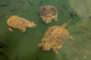 Snapping turtles (Chelydra serpentina) and Bluegills (Lepomis macrochirus) Maryland, USA, June. - John Cancalosi